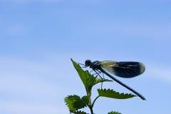 Vicino della libellula in su isolato su bianco Immagine Stock