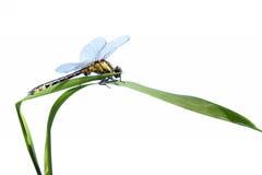 Vicino della libellula in su isolato su bianco Fotografie Stock