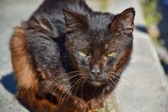 vicino su di un ritratto del gatto marrone scuro senza tetto molto calmo sul marciapiede in un giorno soleggiato Il gatto abbando immagini stock