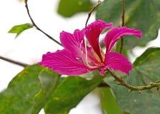 Vicino su Hong Kong Orchid Flower o sul blakeana di Ã- di Bauhinia isolato sul fondo della natura fotografie stock
