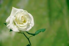 Vicino - sulle singole belle rose bianche fotografia stock