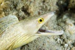 Vicinus de la Anguila-Gymnothorax del Moray de Purplemouth imagen de archivo