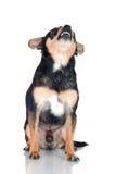 Vicious chihuahua dog Stock Photos