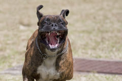 Vicious dog. Running at you Royalty Free Stock Image