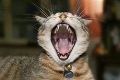 Vicious furry kitty. Meet Kitters doing her impression of the Lion King Royalty Free Stock Photo