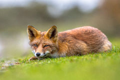 Vicious looking European red fox Royalty Free Stock Photography