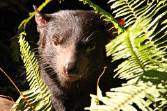 Vicious looking Tasmanian Devil. Amongst sword fern branches. Australian Native Nocturnal Animal Royalty Free Stock Photos