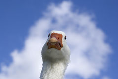 Vicious looking white goose close up against sky Royalty Free Stock Photography