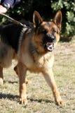 Vicious Police Dog. A vicious police dog baring it's teeth and barking royalty free stock photos
