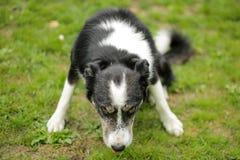 Vicious staring dog Royalty Free Stock Photography
