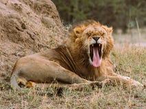 Vicious Yawn Stock Photos