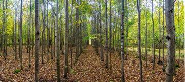 Vicolo degli alberi nella foresta di autunno Immagini Stock