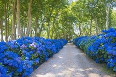 Vicolo degli alberi piani e delle ortensie blu fotografie stock