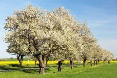Vicolo dei ciliegi di bello albero di fioritura fotografia stock