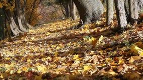 Vicolo del parco con molte foglie di caduta archivi video