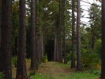Vicolo del pino Immagine Stock