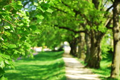 Vicolo dell'albero di estate Fotografia Stock