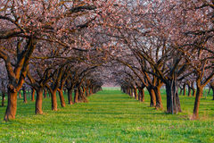 Vicolo dell'albicocca in primavera immagine stock libera da diritti