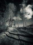 Vicolo della betulla Fotografia Stock
