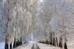 Vicolo della betulla coperto di brina Fotografie Stock Libere da Diritti