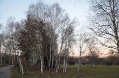 Vicolo della betulla del parco Immagine Stock