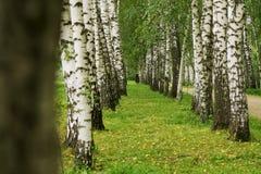 Vicolo della betulla di estate Fotografia Stock