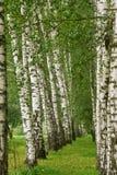 Vicolo della betulla di estate Fotografia Stock Libera da Diritti