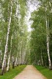 Vicolo della betulla di estate Fotografie Stock Libere da Diritti