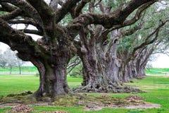 Vicolo della quercia Fotografia Stock
