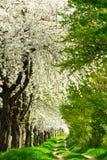 vicolo di fioritura Fotografia Stock