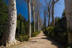 Vicolo nei giardini di Boboli, Firenze, Italia del sicomoro (Platanus) Immagine Stock Libera da Diritti