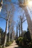 Vicolo nei giardini di Boboli, Firenze, Italia del sicomoro (Platanus) Fotografie Stock
