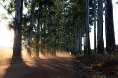 Vicolo stretto degli alberi di eucalyptus con polvere sulla strada non asfaltata Fotografia Stock