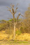 Southern african landscapes. Victim of the elephants, lead wood tree Royalty Free Stock Photography