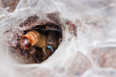 Victim of a Tarantula. Tarantula (Ceratogyrus darlingi) eating Zophobas morio, an ambush predator Royalty Free Stock Image