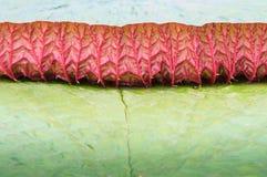 Victiria lotus Stock Photos