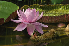 Victoria Amazon Waterlily Royalty Free Stock Photo