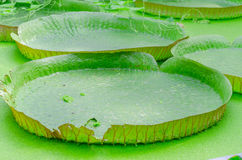 Victoria, Amazonas, water lily, leaves Royalty Free Stock Photo