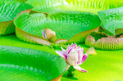 Victoria, Amazonas, water lily, leaves Royalty Free Stock Image