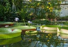 Victoria Amazonian Water Lily, loto flotante enorme fotos de archivo