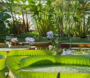 Victoria Amazonian Water Lily, loto flotante enorme foto de archivo libre de regalías