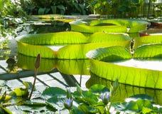 Victoria Amazonian Water Lily, lotus de flottement énorme Photo libre de droits