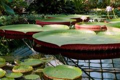 Victoria Amazonian Water Lily, Reusachtige drijvende lotusbloem Stock Afbeelding