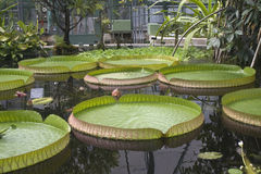 Victoria Amazonica Stock Photos