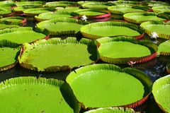 Victoria amazonica. Giant Amazon water lily (Victoria amazonica stock images