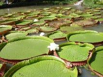 Victoria Amazonica Stockfotografie