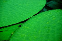 Victoria amazonica (Amazon Waterlily) Stock Photos