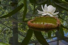 Victoria Amazonica - Amazon Waterlily Royalty Free Stock Photos