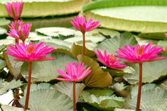 Victoria Amazonica (close up). Within a couple of days the young leaves can obtain a diameter of 2,5 metres. The carrying capacity of a leaf is about 40 kilos Stock Image