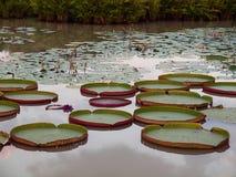 Victoria Amazonica dans l'étang images libres de droits